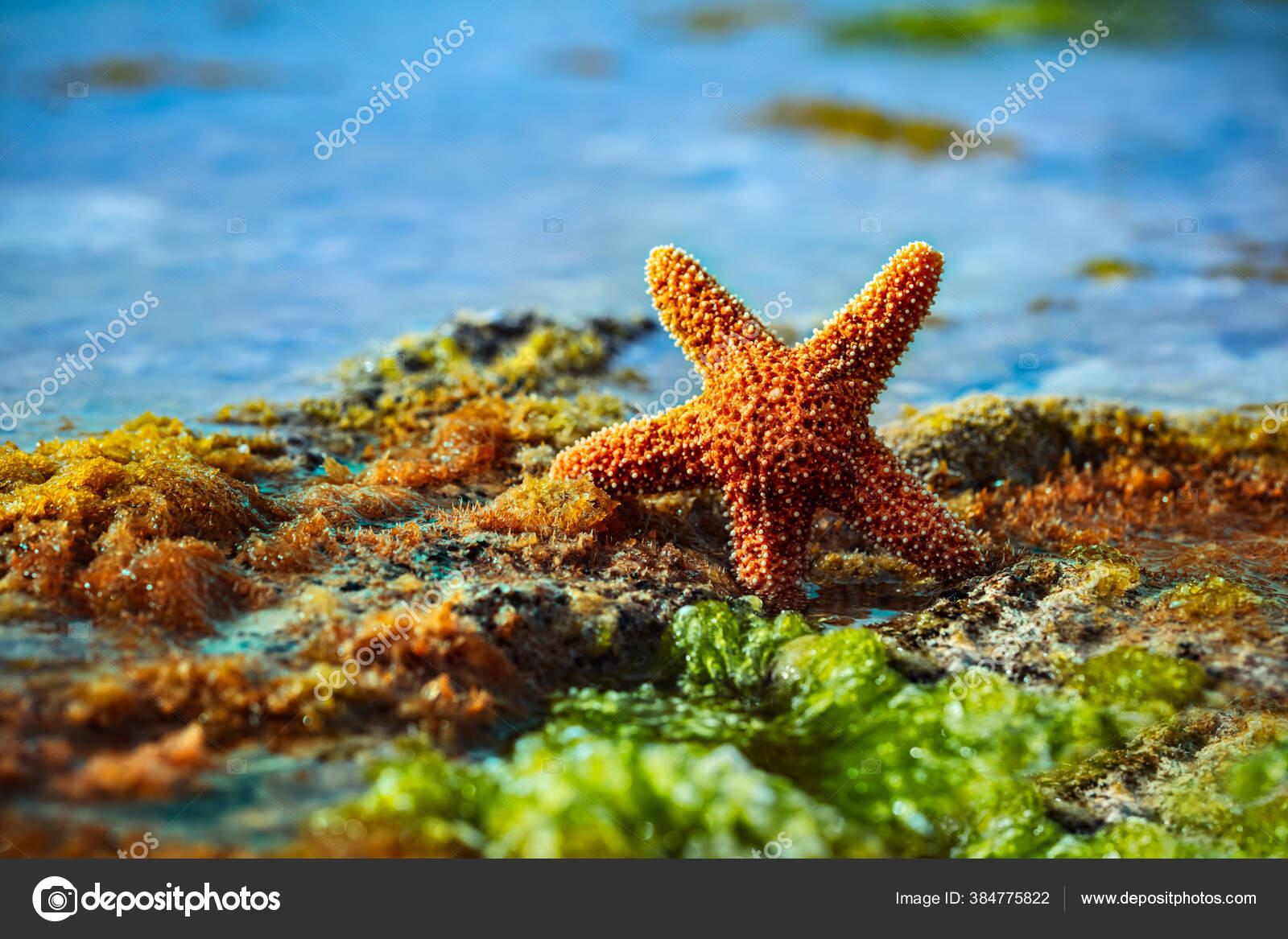 Pantai Bintang Laut Indah Bay Seaweed Bintang Laut Pulau Tropis Stok Foto C Anna Om 384775822