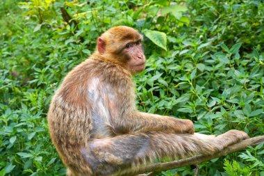 Barbary apes macaca sylvanus macaque monkey outdoor