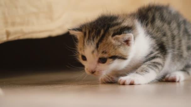 the little kitten walks