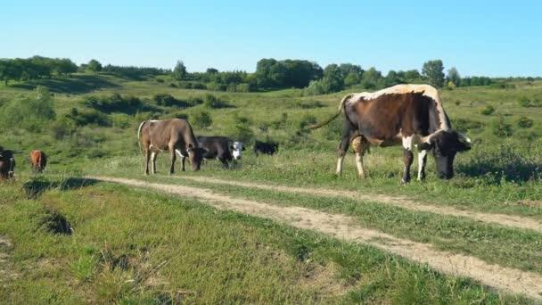 krávy se pasou na trávníku