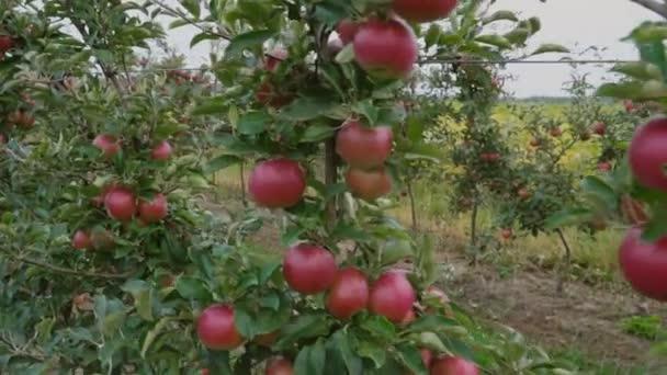 červená jablka detail