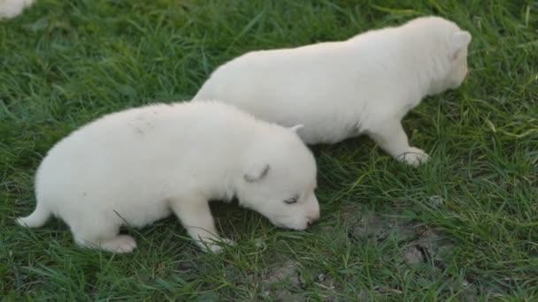 bílá husky štěňata
