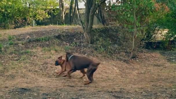 gioco di cani doberman e boxer