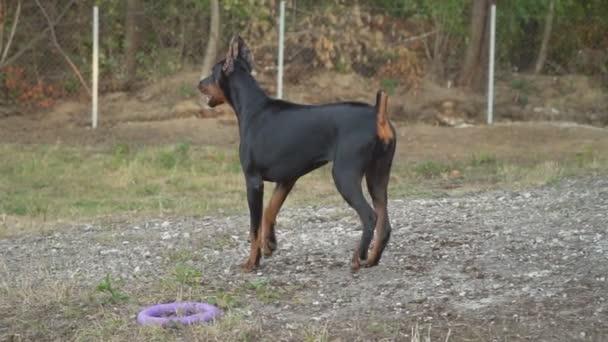 Doberman breed dog barking