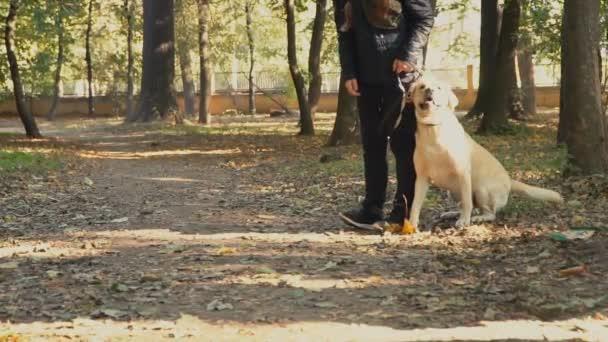 Hunderasse Labrador goldene Farbe