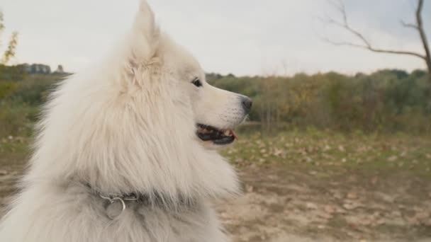 Samoyed breed dog walks in the park