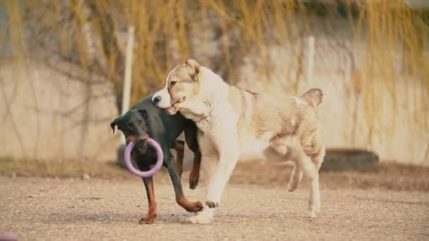 Alabai and Doberman dogs
