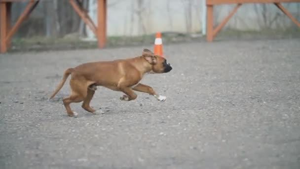 Doberman és Boxer kutyák
