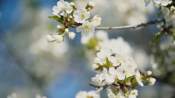 stromy kvetoucí třešeň