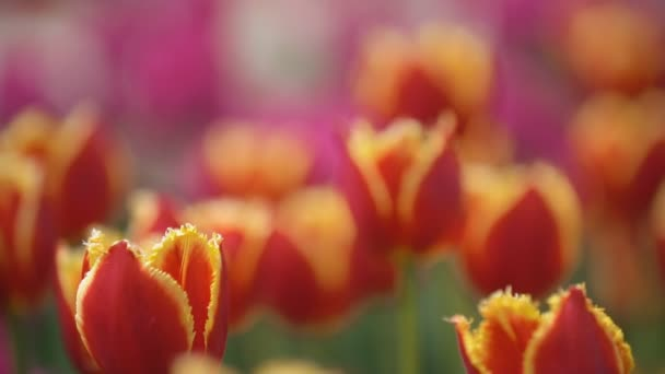 Vörös tulipán közelről