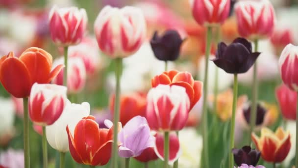 közeli, színes tulipánok