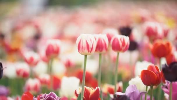 barevné tulipány v těsné blízkosti