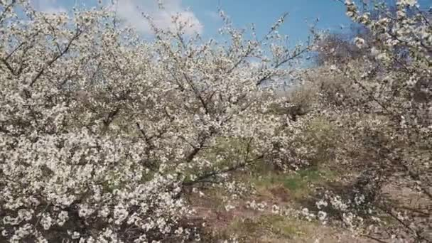 tree cherry blossoms with a birds-eye view