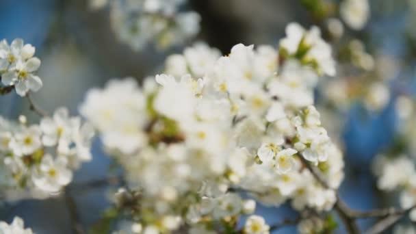 kvetoucí třešňové stromy zblízka