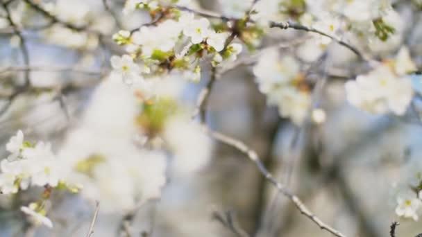 virágzó cseresznyefa közelről