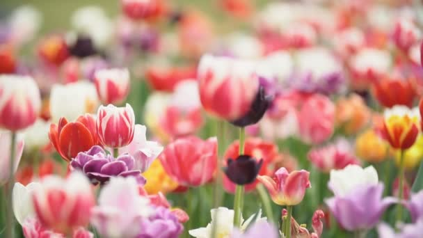 colorful tulips at close range