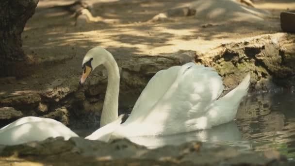 zwei weiße Schwäne schwimmen im Loch