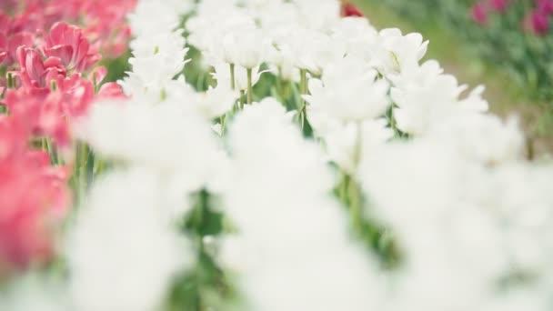 tulipán virág közelről