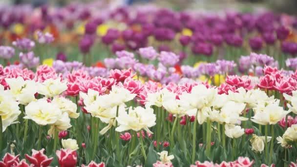 sokszínű tulipán virágok