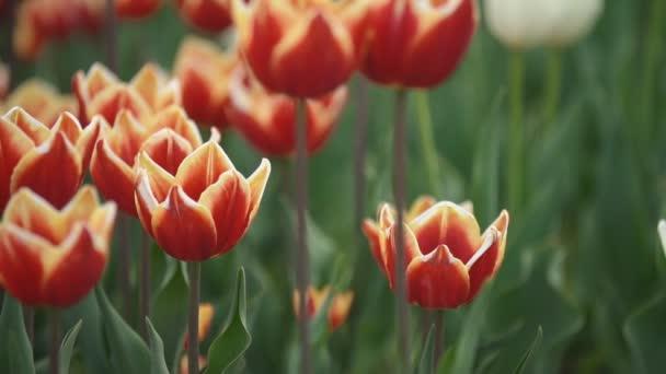 červené tulipány closeup