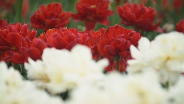 Vértes piros tulipán