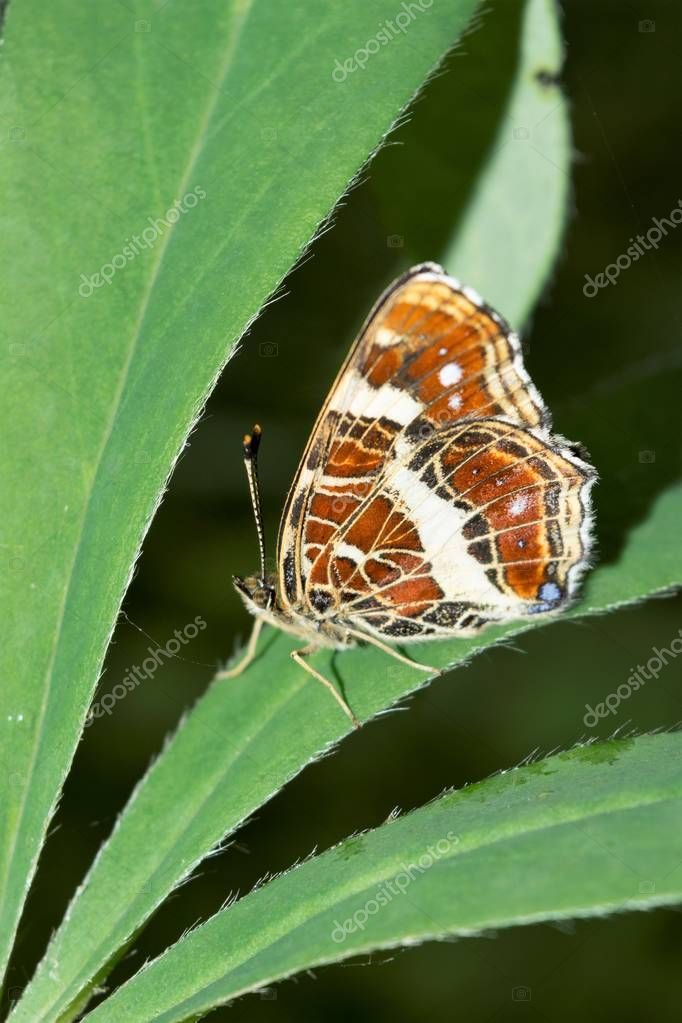a butterfly poplar admiral sits on a wide leaf of a green plant, a beautiful insect in a natural environment, close-up nature abstract background