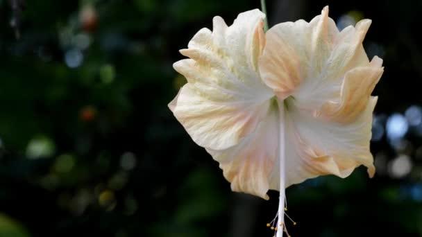 fehér és sárga a kertben Hibiszkusz virág