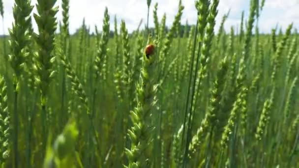 Zelená pole a Beruška na stonku kymácí ve větru