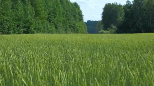 Beautiful background green wheat field and forest