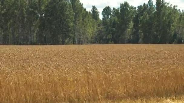 Zlatá podzimní pšenice zemědělské oblasti a krásný les