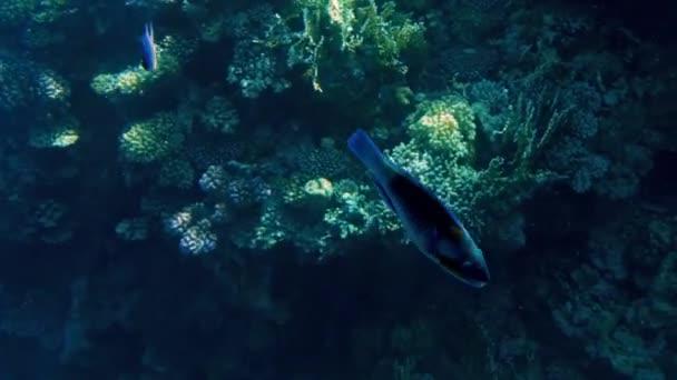 Bellissimo filmato 4k di un sacco di pesci che nuotano intorno alla barriera corallina sul fondo del mare. Incredibile vita marina loceano profondo