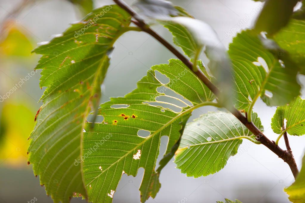 Green leaf of European White Elm (Ulmus laevis) damaged by leaf-eaters parasite insects. Backlight. September. Early autumn. Leaf texture shown. Small branch