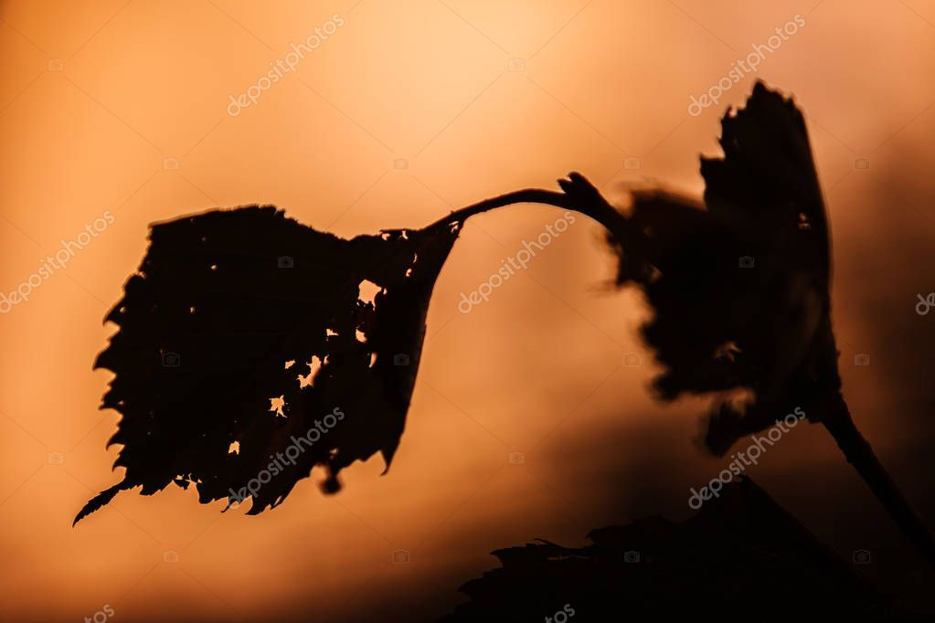 Leaves of European White Elm (Ulmus laevis) with small holes. Backlit by sunset rays. September. Early autumn.