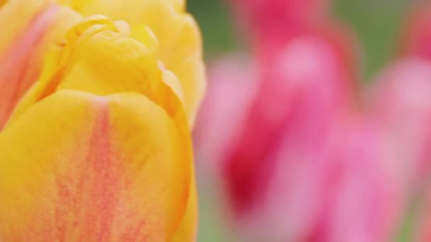 Delicate yellow and pink tulips on the lawn in the spring macro