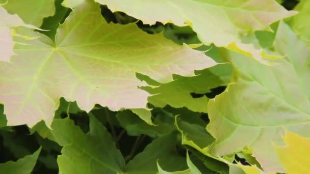 Acer platanoides. Maple tree leaves close up in springtime