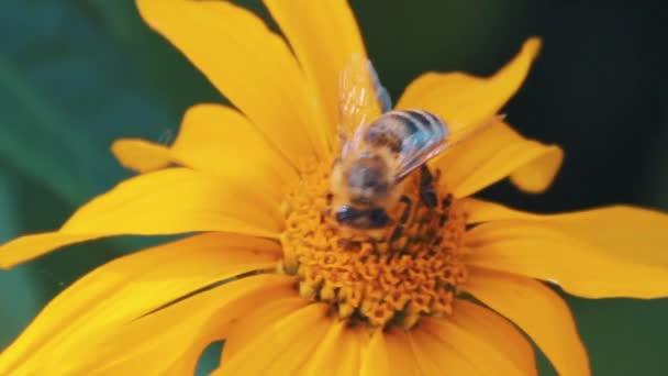 Európai mézelő méhecske kört minta a sárga méz növény