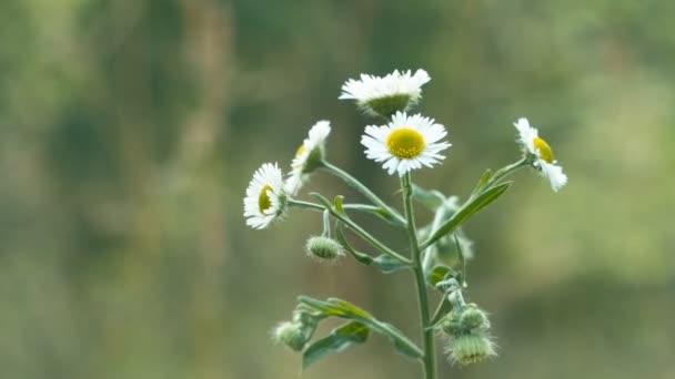 Luční květina detailní