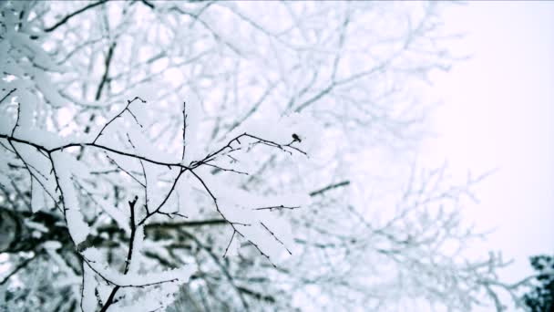 Beautiful frosty trees. Loop
