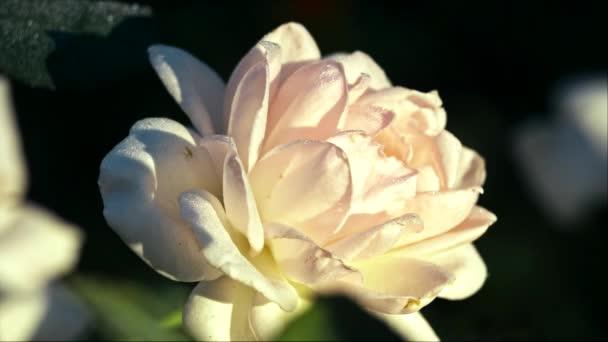 White rose at morning sun