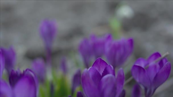 fialový crocus květiny