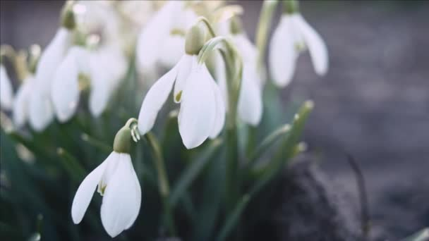 Snowdrop or galanthus flower macro, panning shot, shallow depth of field