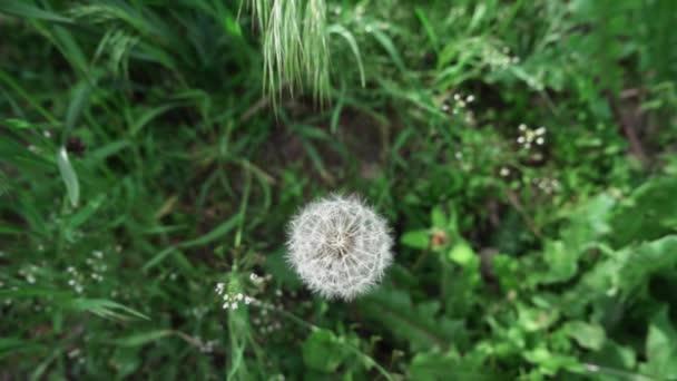 Gyermekláncfű a fűben, lassított felvétel, sekély mélységélesség