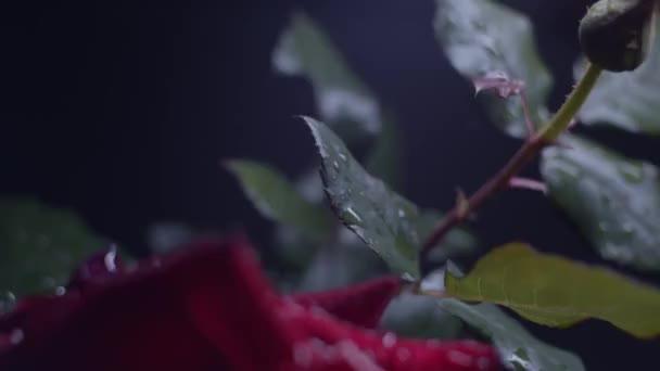 Červená růže makro výstřel na černou s kapkami vody, posuvník pohyb, rychlost rampy. Dramatické světlo