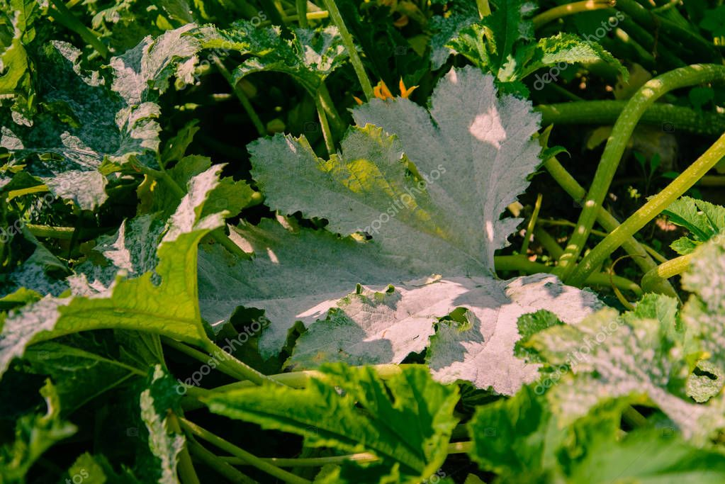 Zucchini leaves affected by powdery mildew. The result of infection or improper care of the plant.