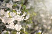 Krásný kvetoucí strom venku, detailní záběr