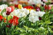 Virágzó tulipánok szabadban
