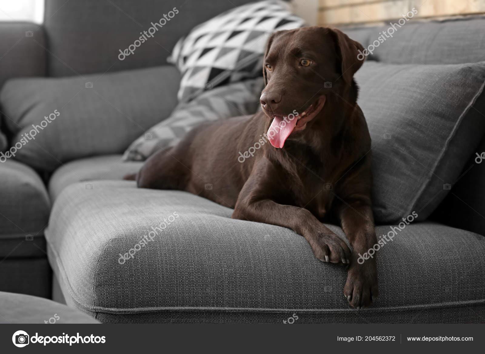 Susse Lustige Hund Hause Auf Sofa Stockfoto C Serezniy 204562372