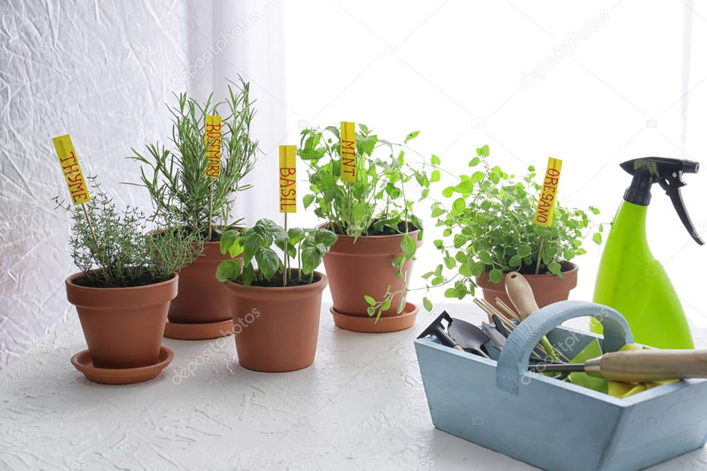 Pots with fresh aromatic herbs and  gardening equipment on white table