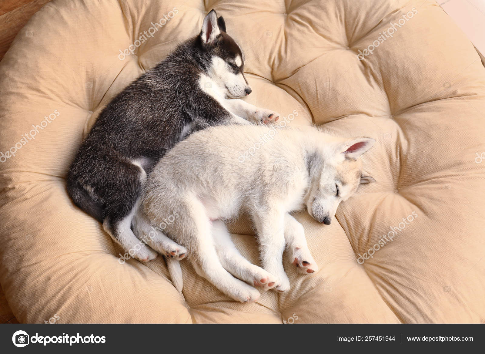 Cute Husky Puppies Sleeping At Home Stock Photo C Serezniy 257451944