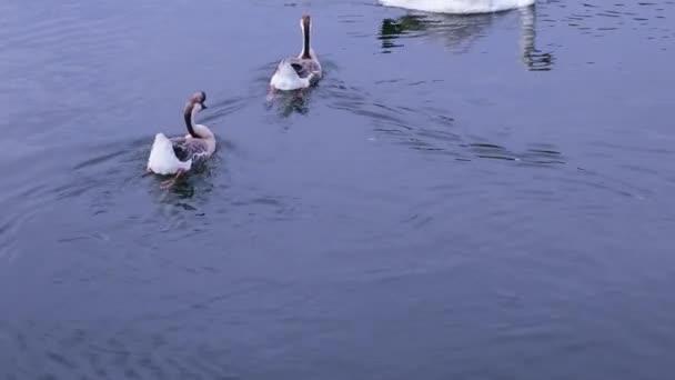 Zwei Wildgänse und ein weißer Schwan schwimmen im Wasser eines Teiches, aus nächster Nähe.